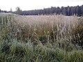 Smilgu simfonija Litenes apkārtnē 2001-09-21 - panoramio.jpg