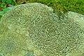 Smoky-Eye Boulder Lichen (1044774515).jpg