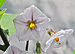 Solanum melongena flower 12 09 2012.JPG