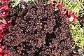Solenostemon scutellarioides Purple Duckfoot 1zz.jpg