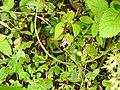 Sonerila ponmudiensis-1-chemungi-kerala-India.jpg