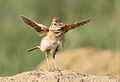 Song and dance routine of the Rufous-naped Lark, Mirafra africana at Rietvlei Nature Reserve, Gauteng, South Africa (15857349188).jpg