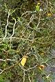 Sophora prostrata kz3.jpg