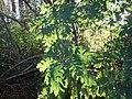 Sorbus aucuparia (5085257070).jpg