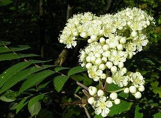 Jarabina vtáčia - kvety
