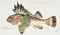 Southern Pacific fishes illustrations by F.E. Clarke 33.jpg