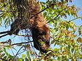 Southern brown howler monkey female sp zoo 1.JPG