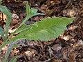 Sow Thistle - San Luis Obispo - Leaf.jpg
