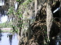Spanish Moss at Magnolia Plantation.JPG