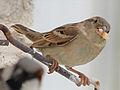 Sparrow..jpg