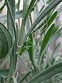Speckled bush-cricket (Leptophyes punctatissima) just having shed its skin, Sandy, Bedfordshire (5848709014).jpg