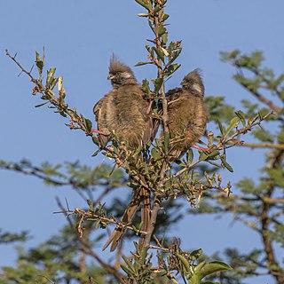 Speckled mousebirds (Colius striatus kikuyensis) pair