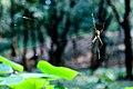 Spider At National Botanical Garden Of Bangladesh (128171029).jpeg