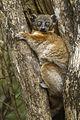 Sportive Lemur - Zombitze - Madagascar S4E8451 (15276884761).jpg