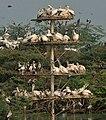 Spot-billed Pelican (Pelecanus philippensis) at nest with chicks in Uppalpadu W IMG 2649.jpg