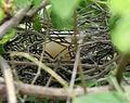 Spotted Dove (Streptopelia chinensis) nest W2 IMG 0519.jpg