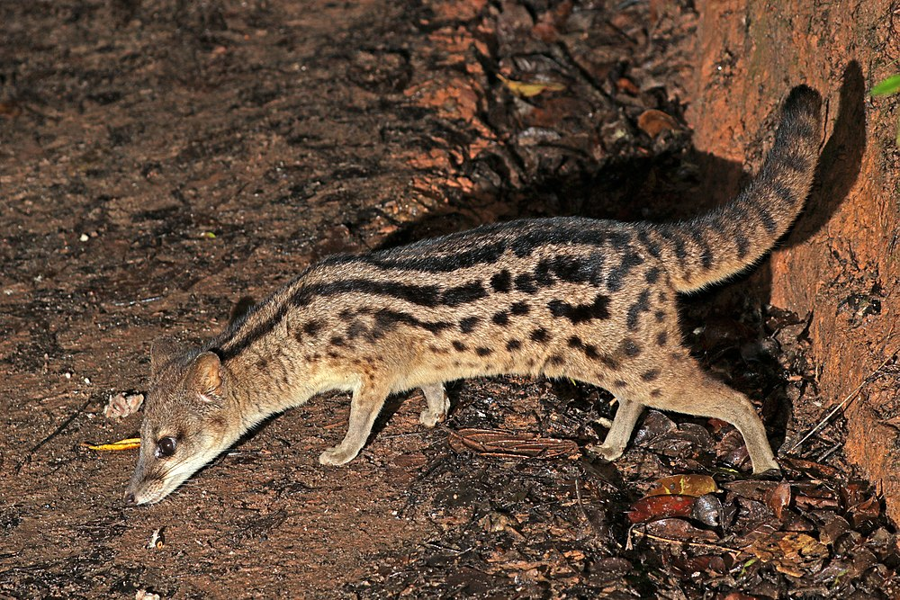The average litter size of a Malagasy civet is 1