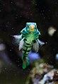 Spotted mandarin in Barcelona Oceanarium (23817694514).jpg
