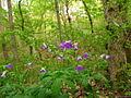 Spring-flowers-forest-floor - West Virginia - ForestWander.jpg