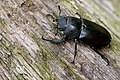 Stag Beetle (Lucanus cervus) female, Romania (34571806034).jpg