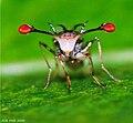 Stalk-eyed fly0035s.jpg