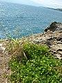 Starr-050404-5396-Oxalis corniculata-habit-Mokeehia-Maui (24648154711).jpg