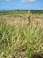 Starr-050525-1903-Cenchrus agrimonioides var agrimonioides-habit-Moaulanui-Kahoolawe (24763988625).jpg