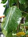 Starr-080117-2031-Cordia subcordata-leaves-Home Depot Nursery Kahului-Maui (24273507264).jpg