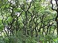 Starr-090618-1129-Aleurites moluccana-grove-Honomanu Hana Hwy-Maui (24338872193).jpg