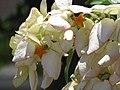 Starr-090714-2714-Mussaenda sp-white flowers-Napili-Maui (24674117350).jpg