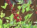 Starr-090813-4174-Erythrina crista galli-flowers and leaves-Kahului-Maui (24854052962).jpg