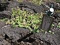 Starr-091104-0753-Portulaca villosa-habit-Kahanu Gardens NTBG Kaeleku Hana-Maui (24894229791).jpg