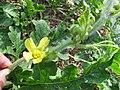 Starr-091108-9414-Citrullus lanatus-flower-Olinda-Maui (24895988091).jpg