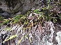 Starr-100317-3838-Pteris cretica-habit-Pohakuokala Gulch-Maui (24645286389).jpg
