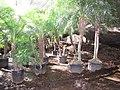 Starr-110209-0811-Phoenix roebelenii-habit-Resort Management Group Nursery Kihei-Maui (25074728335).jpg