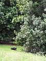 Starr-110408-4876-Macadamia integrifolia-habit with pig-Piiholo-Maui (24714737659).jpg