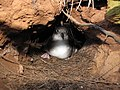 Starr-130320-3504-Casuarina equisetifolia-habitat with Wedge tailed Shearwater in burrow-Mokolea Pt Kilauea Pt NWR-Kauai (24913654340).jpg