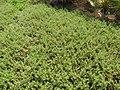 Starr-130703-5563-Sesuvium verrucosum-habit-Kealia Pond-Maui (25126151541).jpg