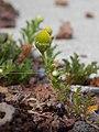 Starr-140502-0485-Matricaria discoidea-flowers leaves-Summit parking area HNP-Maui (25215814206).jpg