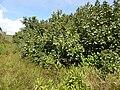 Starr-140909-1650-Hibiscus tiliaceus-habit-Wailua-Maui (25127371582).jpg
