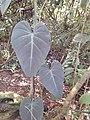Starr-140909-1787-Philodendron sp-habit-Wailua-Maui (24950313530).jpg