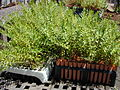 Starr 010330-0593 Olea europaea subsp. cuspidata.jpg