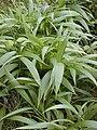 Starr 020803-0065 Setaria palmifolia.jpg