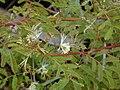 Starr 030405-0075 Desmanthus pernambucanus.jpg