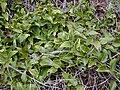 Starr 030405-0240 Smilax melastomifolia.jpg