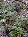 Starr 040812-0051 Schefflera arboricola.jpg
