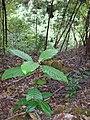 Starr 041219-1751 Cinchona pubescens.jpg