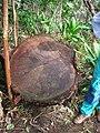 Starr 050107-2858 Eucalyptus sp..jpg
