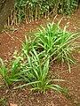 Starr 060221-6070 Dianella sandwicensis.jpg