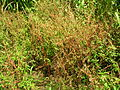 Starr 060416-7694 Amaranthus spinosus.jpg